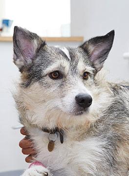 Alaskan Malamute cross dog
