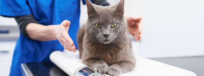 Grey cat on the scales at Brook House Veterinary centre